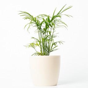 [식물농장] 공기정화식물 테이블야자 화분세트 (디자인화분) 이미지