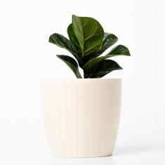 [식물농장] 공기정화식물 떡갈고무나무 화분세트 (디자인화분) 이미지