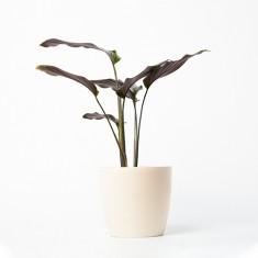 [식물농장] 공기정화식물 칼라데아 진저 화분세트 (디자인화분) 이미지