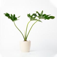 [식물농장] 공기정화식물 필로덴드론 셀로움 화분세트 (디자인화분) 이미지