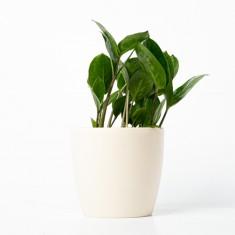 [식물농장] 인테리어식물 금전수 화분세트 (디자인화분) 이미지