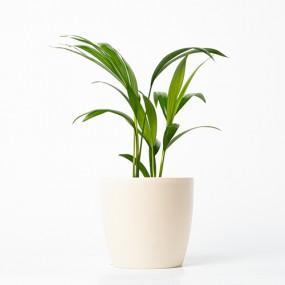 [식물농장] 공기정화식물 아레카야자 화분세트 (디자인화분) 이미지