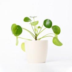 [식물농장] 인테리어식물 필레아 페페로미오이데스 화분세트 (디자인화분) 이미지