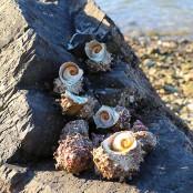 남해안 자연산 뿔소라 1kg [남해바다향] 이미지
