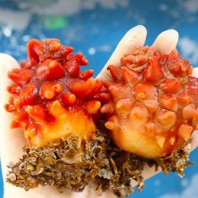( 9월28일 오후2시 추석택배마감 ) 꽃처럼 붉은 탱글 탱글한 자연산 꽃멍게 1kg [남해바다향] 이미지