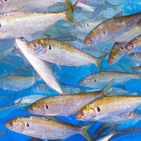 고소한 생선!  순수 100% 자연산 제철 전어 1kg [남해바다향] 이미지