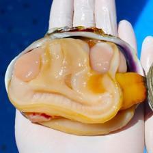 손질 된 자연산 깐대합살 (급냉) 300g [남해바다향] 이미지