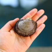 살아있는 국내산 피조개 2kg [남해바다향] 이미지