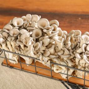 [조은영농] 무농약 느타리버섯 2kg 이미지