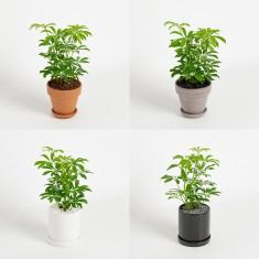 [식물농장] 인테리어 미니 홍콩야자 화분세트 이미지