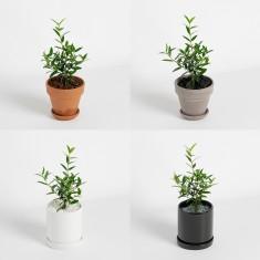 [식물농장] 인테리어 미니 올리브나무 화분세트 이미지