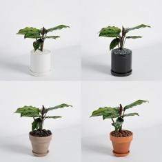 [식물농장] 인테리어 미니 칼라데아 뷰티스타 화분세트 이미지