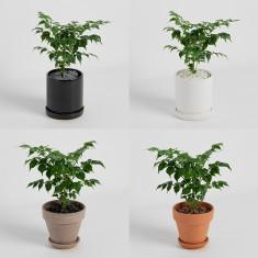 [식물농장] 해피트리 미니화분 행복을 주는 나무 부귀수 이미지