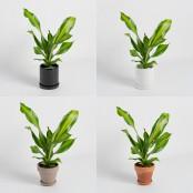 [식물농장] 드라세나 맛상게아나 미니화분 보기도 좋고 공기정화도 잘하는 고마운 식물 이미지
