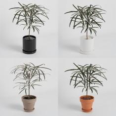 [식물농장] 아라리아 미니화분 키우기 특이한 모양의 포름알데히드 제거 공기정화식물 이미지