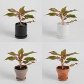 [식물농장] 아글라오네마 시암 오로라 미니화분 매력적인 색의 공기정화식물 이미지