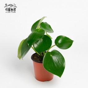 글로리아 페페 10cm 물방울 페페로미아 공기정화식물 반려식물 인테리어 이미지