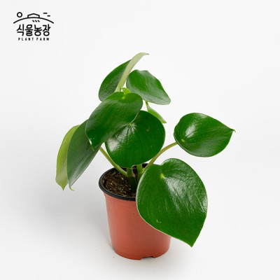 글로리아 페페 10cm 물방울 페페로미아 공기정화식물 반려식물 인테리어