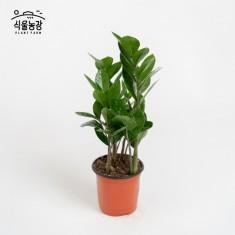 금전수 10cm 돈나무 공기정화식물 반려식물 인테리어 이미지