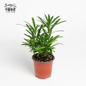 나한송 10cm 중국소나무 공기정화식물 반려식물 인테리어 이미지