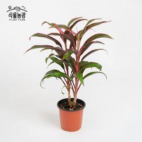 레드비치 10cm 공기정화식물 반려식물 인테리어 이미지