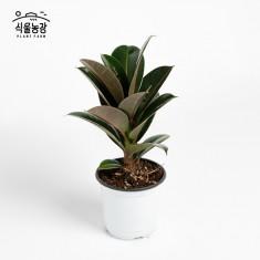멜라니 고무나무 10cm 공기정화식물 반려식물 인테리어 이미지