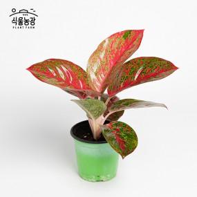 아글라오네마 엔젤 10cm 공기정화식물 반려식물 인테리어 이미지