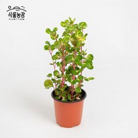 오로라페페 10cm 페페로미아 공기정화식물 반려식물 인테리어 이미지