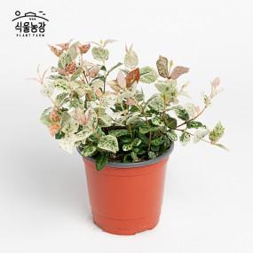 오색마삭줄 10cm 공기정화식물 반려식물 인테리어 이미지