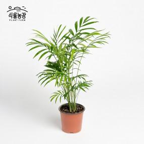 테이블야자 10cm 공기정화식물 반려식물 인테리어 이미지