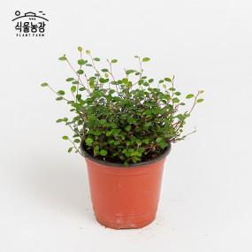 트리안 10cm 공기정화식물 반려식물 인테리어 이미지