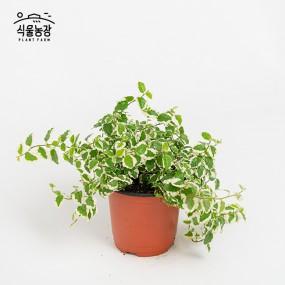 푸밀러 10cm 공기정화식물 반려식물 인테리어 이미지