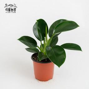 필로덴드론 콩고  10cm 공기정화식물 반려식물 인테리어 이미지