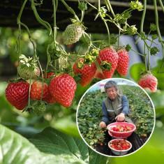 충청남도 부여군 유두호 조합장님의 저탄소/GAP 친환경 인증 부여 한아름 딸기 2kg무료배송 (상품선택옵션) 이미지