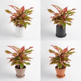 아글라오네마 시암 오로라 중형화분 중품 매력적인 색의 공기정화식물 이미지