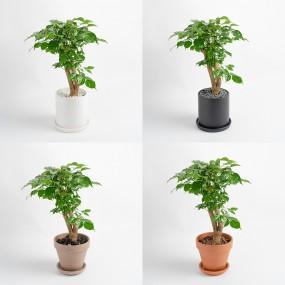 녹보수 중형화분 중품 키우기 쉬운 돈을 불러다주는 공기정화식물 이미지