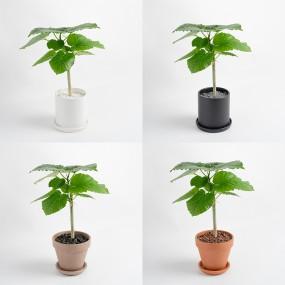 휘커스 움베라타 중형화분 중품 공기정화식물 이미지