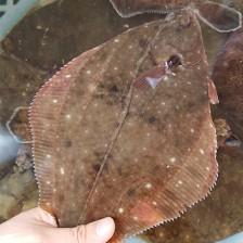 지금아니면 못먹는다는 제철 국산 봄 도다리 손질전 1kg ,손질후 700~800g(2~5미) [남해바다향] 이미지