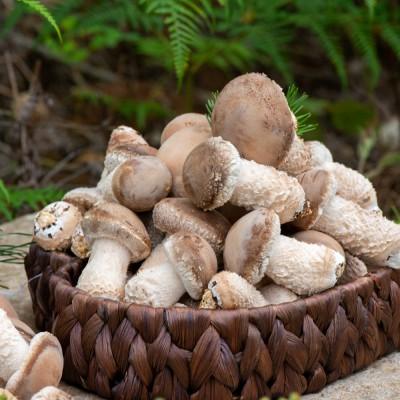 [설산소리] 쫄깃하고 오래가는 은은함 설산소리 솔향버섯 (송화버섯) 500g/1kg