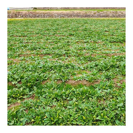 ★산지스토리★ 해풍맞은 밭에서 당일 수확하여 보내드립니다. 노지섬초 시금치 2kg (한정수량) [남해바다향] 이미지