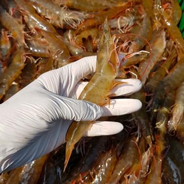 [지팔자] ★2021년 프리미엄 햇새우★ 탱글한 육질을 가진 탄력있는 국내산 흰다리 새우 (생물) 1kg (38-45미내외) [남해바다향] 이미지