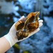 [행사] 깊은 바닷속에 서식하는 자연산 삐뚤이소라 1kg (15마리 내외) [남해바다향] 이미지