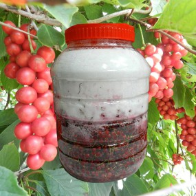 [9월23일순차출고] 제천 담금 오미자 (오미자5kg+설탕5kg) 이미지