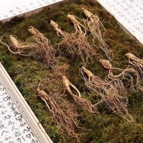 [홈쇼핑 정품][강원도의 힘] 왕뿌리 산양삼 10뿌리/20뿌리 이미지